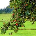 Apfelmus, Apfelringe und Apfelkuchen