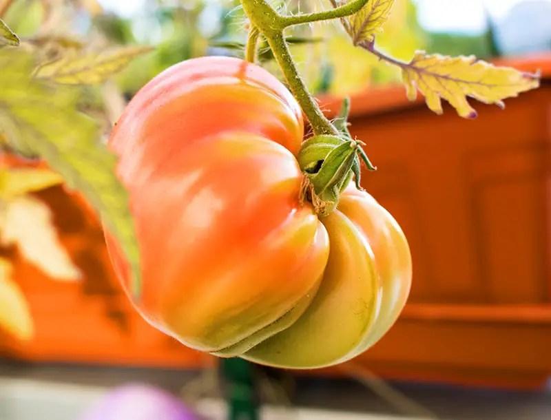 Tomaten vom Balkon