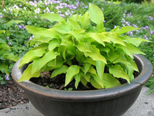 Hosta Yellow Boa