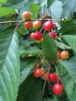 Cherries!!! :)