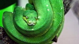 Scary Green Snake - You Can See It