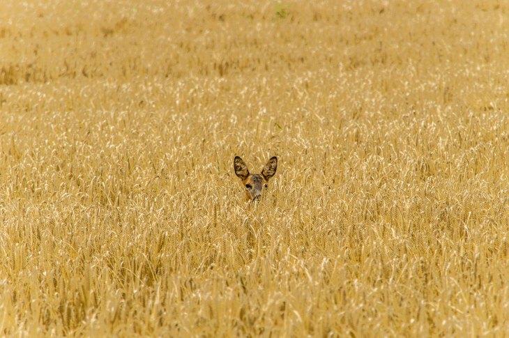 deer lost in a corn field