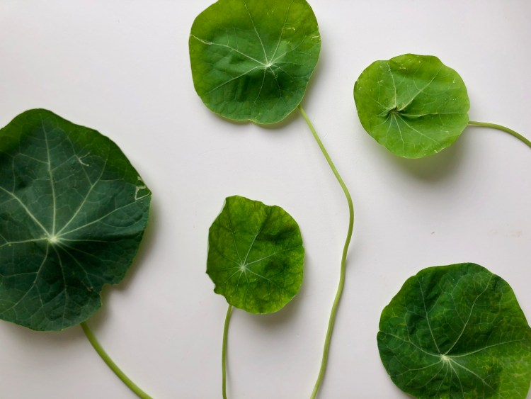 Nasturtium Leaves with Stems