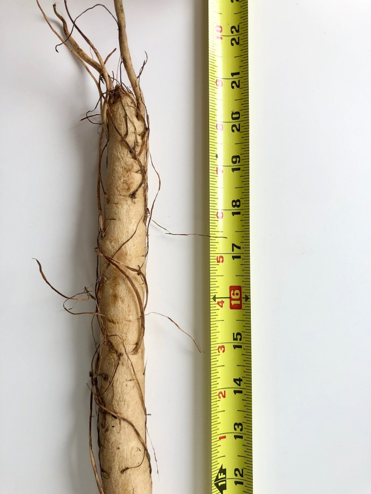 burdock root with measuring tape