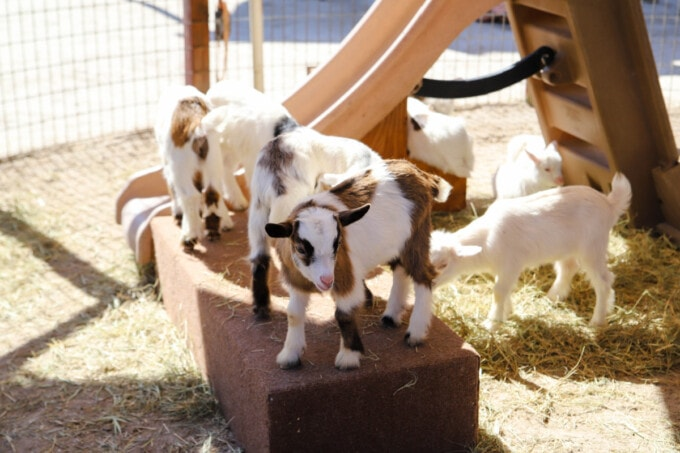 Baby goats in petting zoo