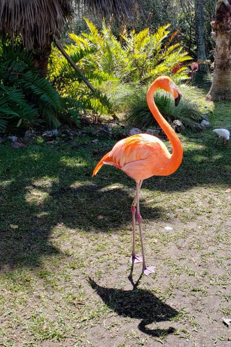 Flamingo at Sarasota Jungle Gardens