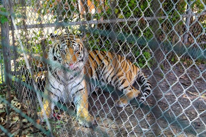 Tiger at the Big Cat Habitat