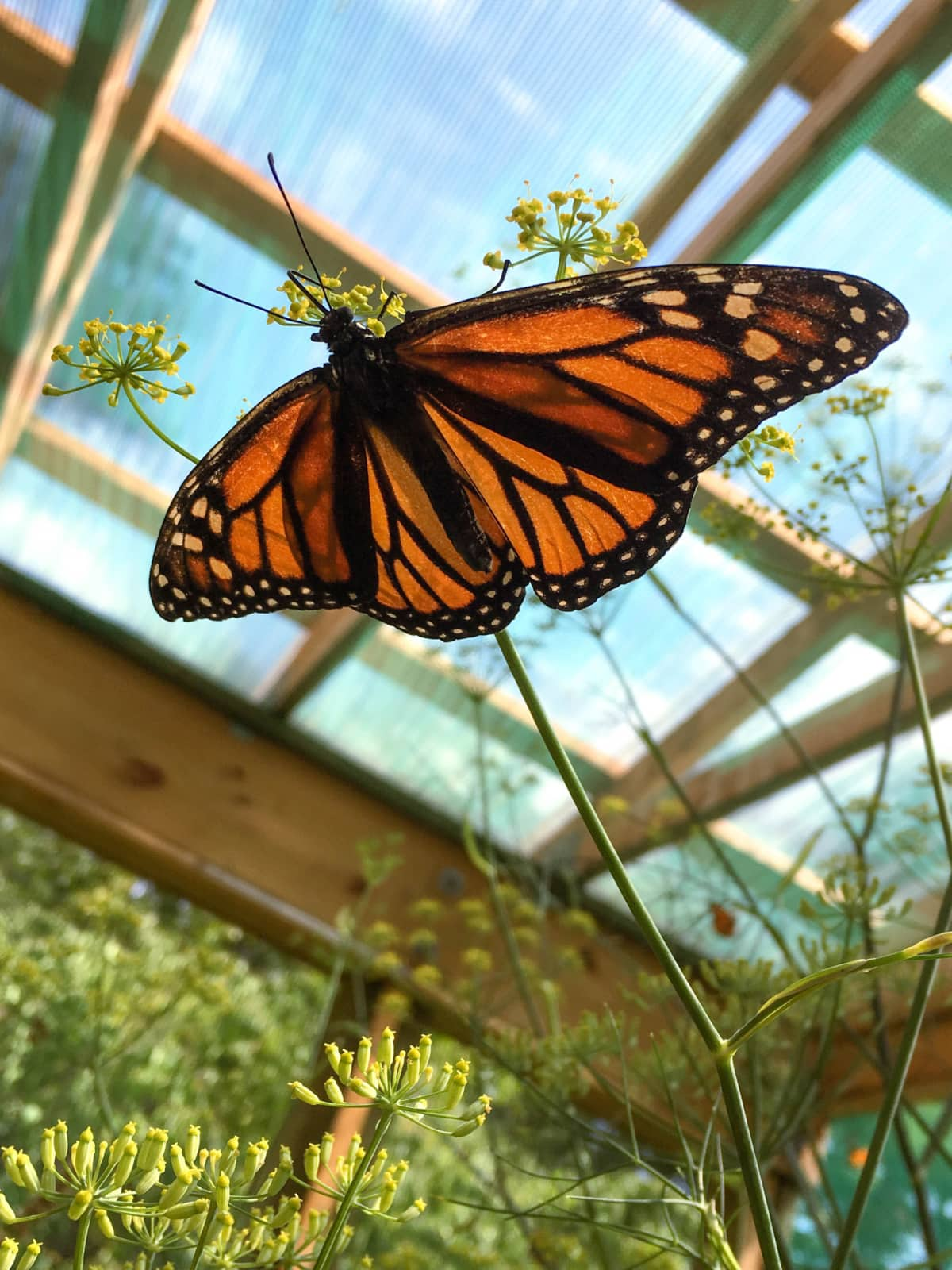 Monarch butterfly at Up Yonda Farm