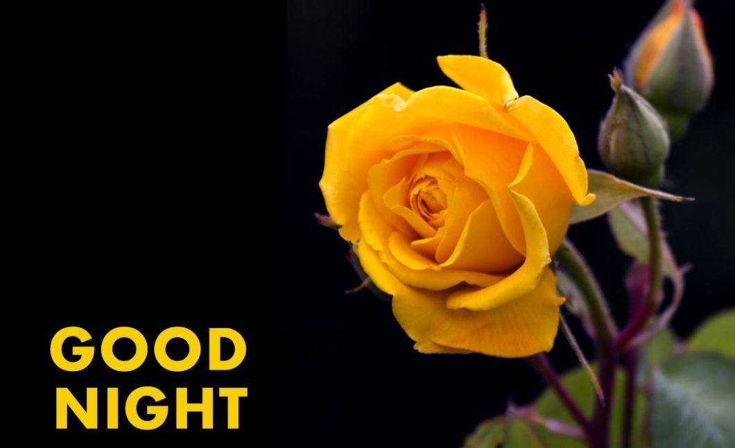 Yellow Rose Flower Hd Pics Kayaflower Co