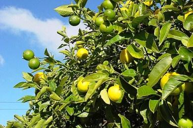 """Για λεμόνια κι άλλα """"εσπεριδοειδή"""""""