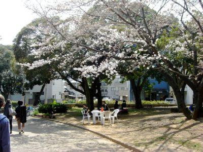 綿打池ボート乗り場付近の桜1