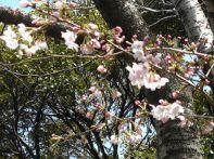 お花見広場の桜3