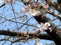 お花見広場の桜4