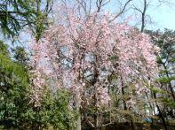 ふれあい広場付近の桜1