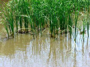 淡水池のカルガモ