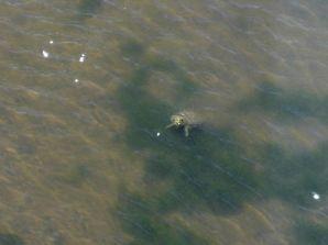 淡水池のカメ