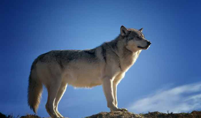 wolf attack and tips to prevent wolf attack