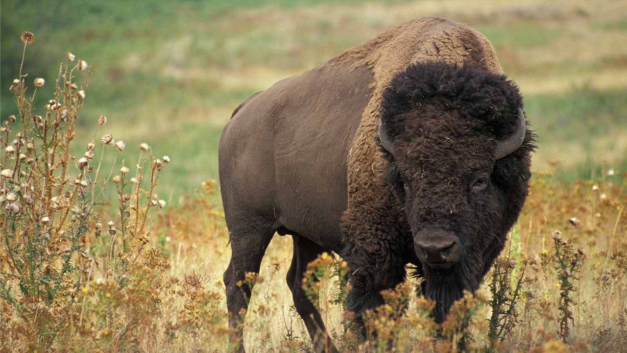 How to prevent bison attack