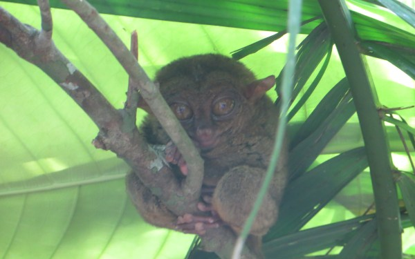 Meet The Philippine Tarsier – Smallest Monkeys In The World