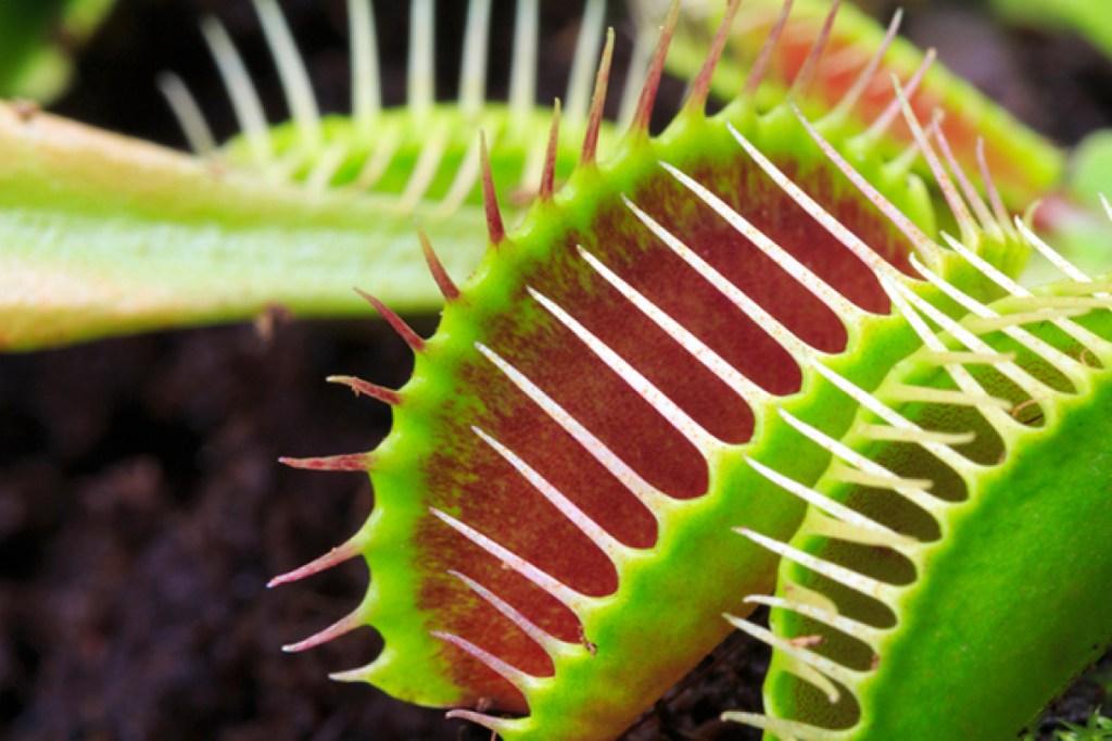 Traps of a venus flytrap plant