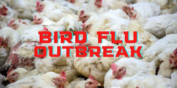 Bird Flu Outbreak: Cases, Effects And Impact In India