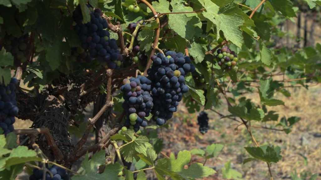 Grapes Vineyard in Nashik
