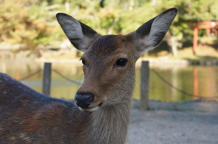 visuel nara cerf 2 - Les ravages du tourisme à outrance : 7 cerfs à Nara retrouvés morts avec plus de 4 kg de plastique dans le ventre