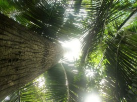 The view up a huge ceiba tree