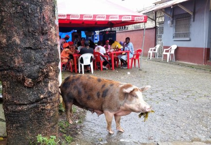 this pig was hanging out, enjoying the free food. just like me.