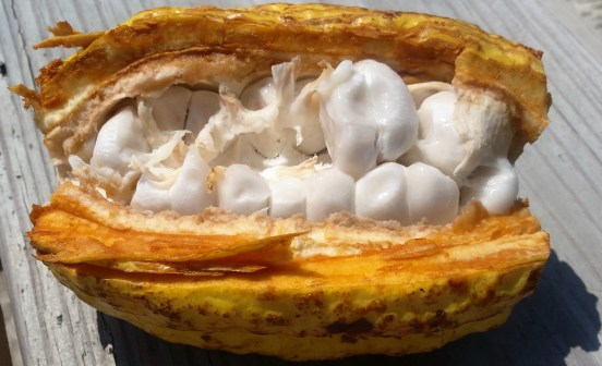 The Almighty Cacao Pod