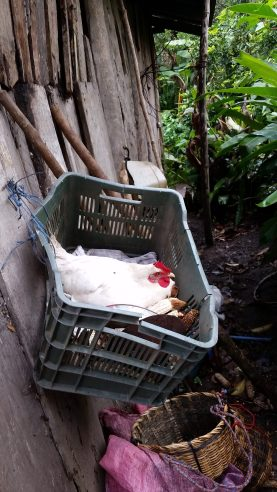 hen laying eggs at the limonaria