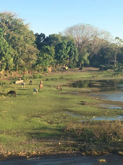 horses grazing on the banks of Lake Nicaragua