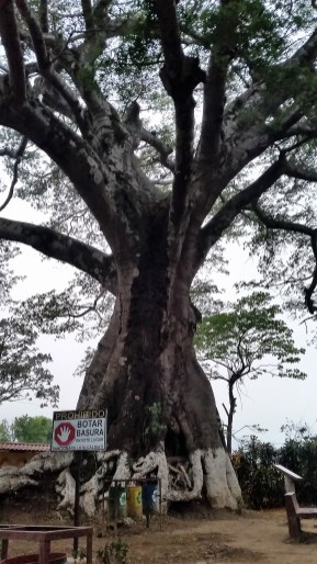 the 300-year old Ceiba tree of Salcoatitan