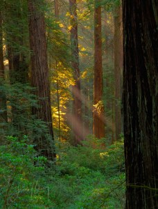 Redwood Sunbeams, California