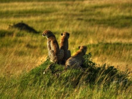 Cheetahs Masai Mara Kenya