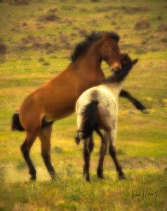 Stallions Duel #2