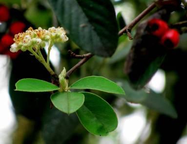 Abeja en la flor de frutos rojos