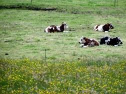 Vacas con flores amarillas