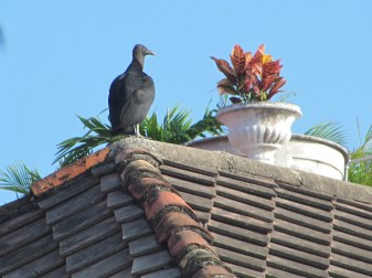 Gallinazo en el techo