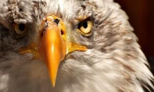 正面を見つめる鷲