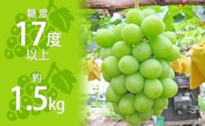 約1.5kg シャインマスカット 讃岐育ちのフルーツ ・ぶどう 旬 高級