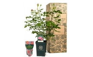 【イングリッシュローズ】デビッド・オースチン バラ鉢苗(バラ専用肥料付)