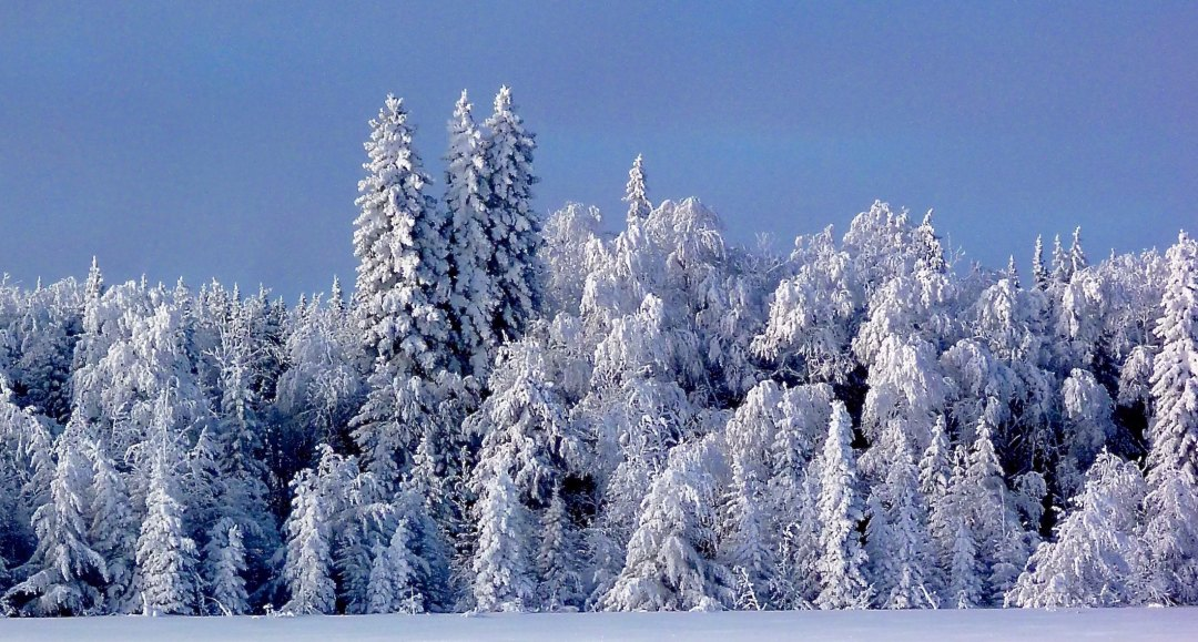 Northern forest covered in snow