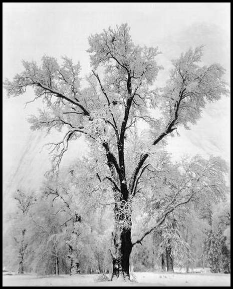 adams_oak_tree_snowstorm.jpg