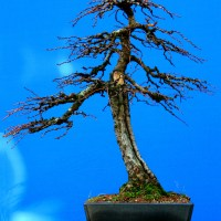 Japanese Larch (is it progressing)