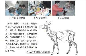 野生動物 解剖 様子