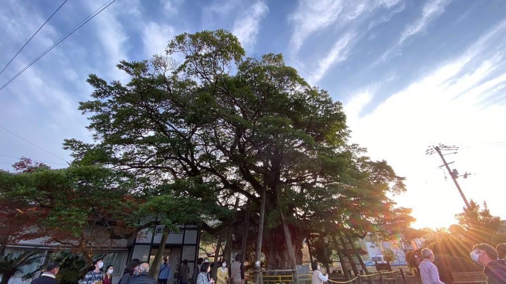 讃岐財田駅のタブの木