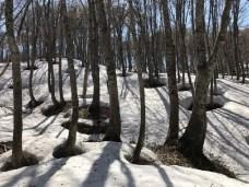 残雪とブナ原生林