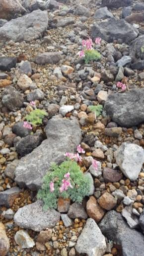 継子岳ではコマクサがどこまでも広がり、一面ピンクに染めていました。