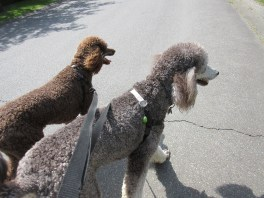 Surrey Langley dog walking